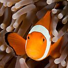 Anemonefish by Jamie Kiddle