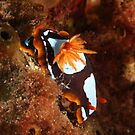 Westralian Chromodoris by Jamie Kiddle