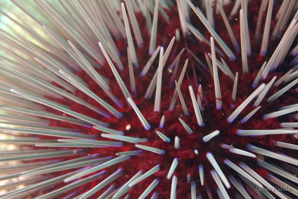 Urchin Close-Up by Jamie Kiddle