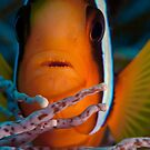 Anemonefish Face by Jamie Kiddle