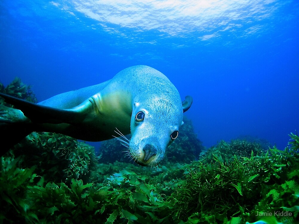 Playful Sealion by Jamie Kiddle