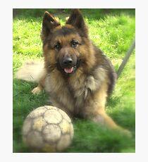 german shepherd dog.. Photographic Print