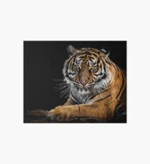 Isolated tiger on a black background Art Board Print