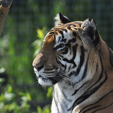 Rana - Bengal Tiger - Shepreth Wildlife Park 2010 by SCreary