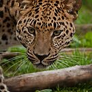 Amur leopard - The definition of beauty by JMChown