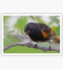 American Redstart Sticker