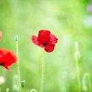 Poppy (Poppies) in Field by Phototrinity
