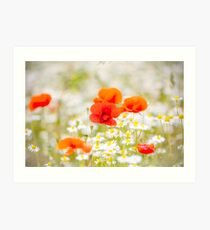 Poppy in the Field of Daisies Art Print