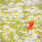Field of Daisies and the Lonely Poppy by Phototrinity