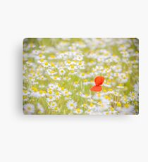 Field of Daisies and the Lonely Poppy Canvas Print