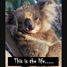 Koala, This is the life..... by Adam Cole