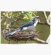 Blue Jay (Cyanocitta cristata) Poster