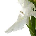 White Gladiola by Ann Garrett