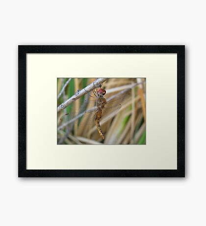 Dragonfly ~ Wandering Glider (Male) Framed Print