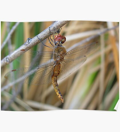 Dragonfly ~ Wandering Glider (Male) Poster
