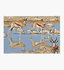 Springbok Antelope - Iconic Wildlife from the Desert Photographic Print