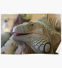 Iguana at Twycross Zoo Poster
