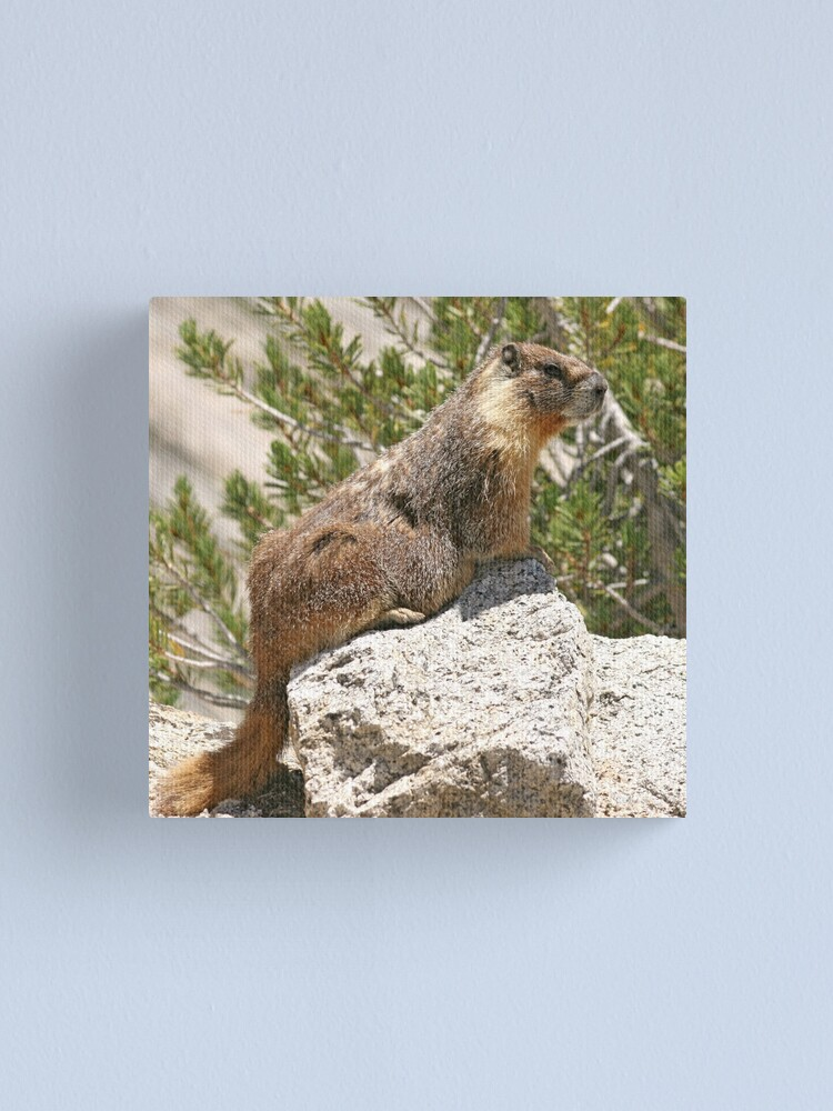 Alternate view of Marmot on rock Canvas Print