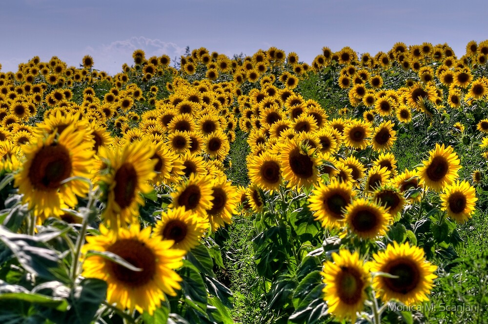 Rows of Sunflowers by Monica M. Scanlan