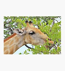 Giraffe - African Wildlife - Pleasure of Food Photographic Print