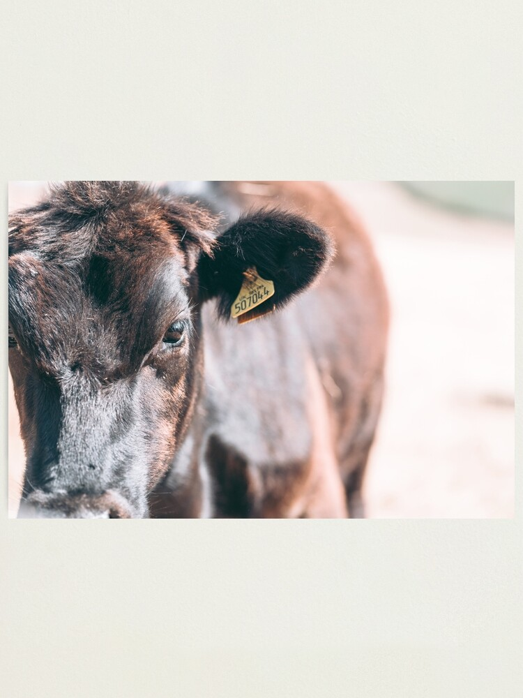 Alternate view of COW OF CORNWALL - 2018 Photographic Print