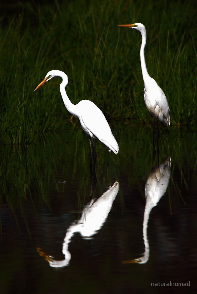 Great Egret Reflections by naturalnomad