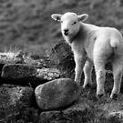 Lamb by Jonnyfez