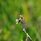 Common Blue Butterflies by Paul  Eden