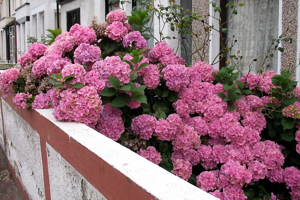PINK HYDRANGEAS  by Joan Harrison