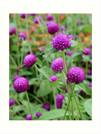 Purple Globe Amaranth by Scott Mitchell