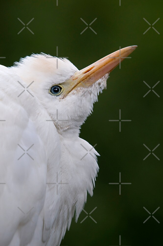 Close Up Of A Cattle Egret - (Bubulcus ibis) by Robert Taylor