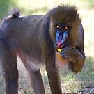 Mandrill Youth by Sue  Cullumber