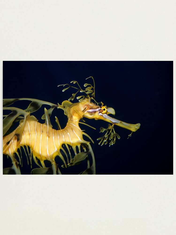 Alternate view of Leafy sea dragon Photographic Print