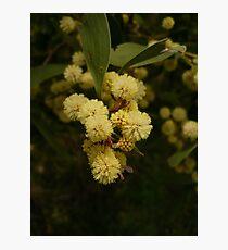 LT Acacia Blossoms 2 Photographic Print