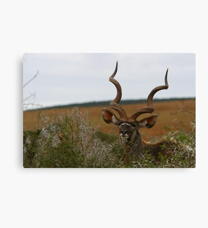 Greater Kudu Canvas Print