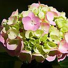 Sunlit Hydrangea by Lynne Morris