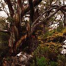 Snow Gum, Mt Field National Park by keleeson