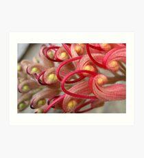 Red Grevillea In Bloom Art Print