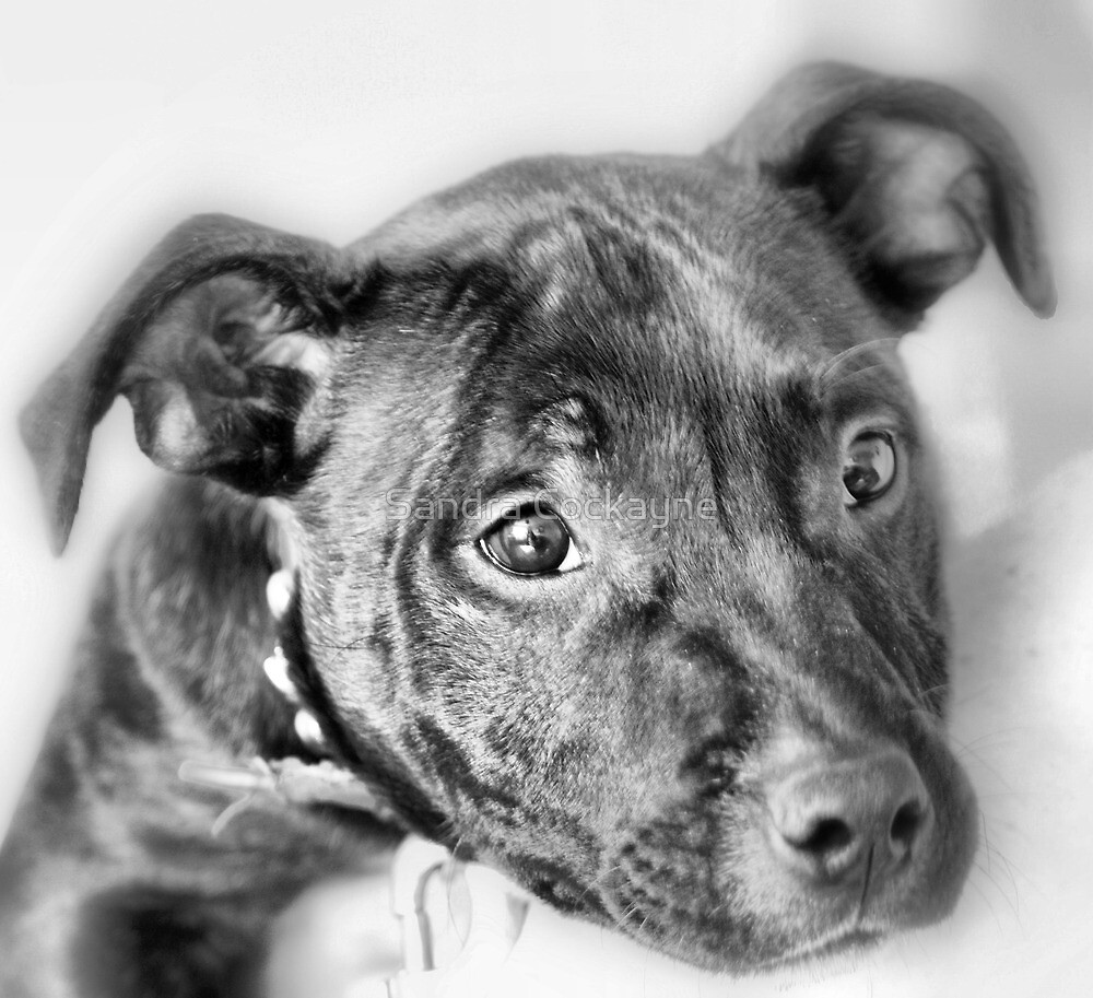 Marley The Staffordshire Bull Terrier by Sandra Cockayne