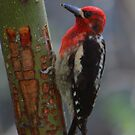 Red-breasted Sapsucker by naturalnomad