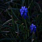 Twin Bluebells by Steven Maynard