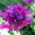 Purple puff by Caroline Anderson