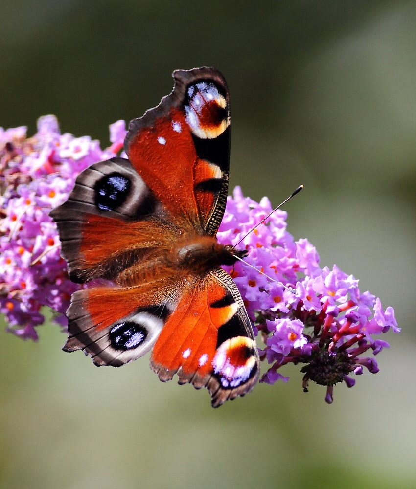 Peacock butterfly by Grant Glendinning