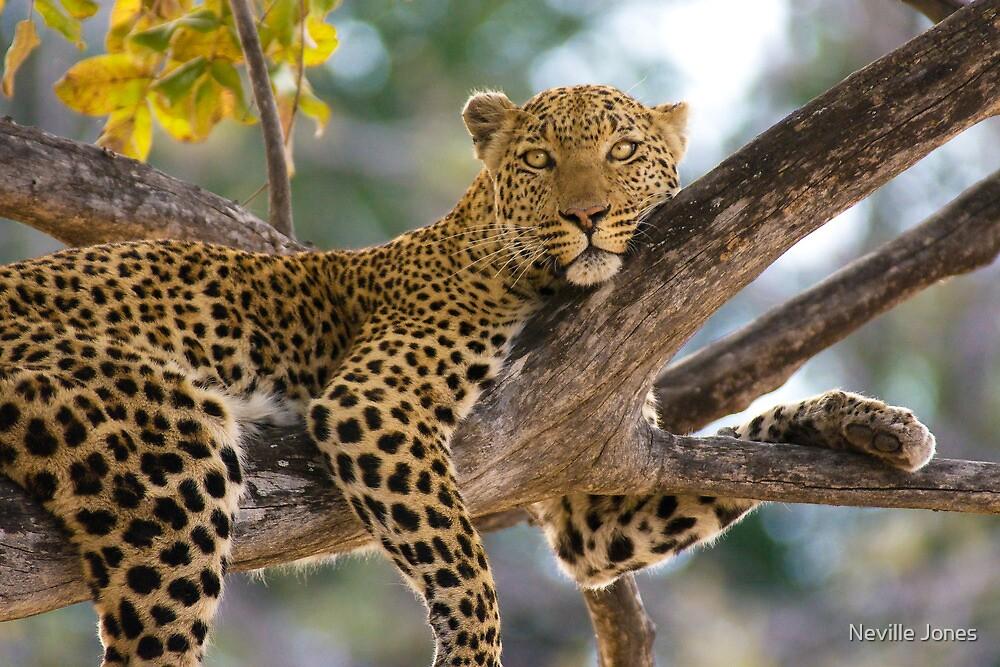 Leopard (Panthera pardus), Moremi Game Reserve, Botswana by Neville Jones