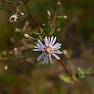 Arrow-Leafed Aster by Mike Oxley