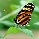 Tiger Longwing Butterfly by Linda Long