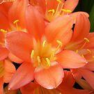Orange Clivias #2 by Chanzz