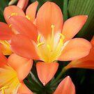 Orange Clivias #3 by Chanzz