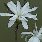 Magnolia white flower  by DIANE  FIFIELD