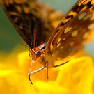 Fritillary on Yellow by Margaret Barry